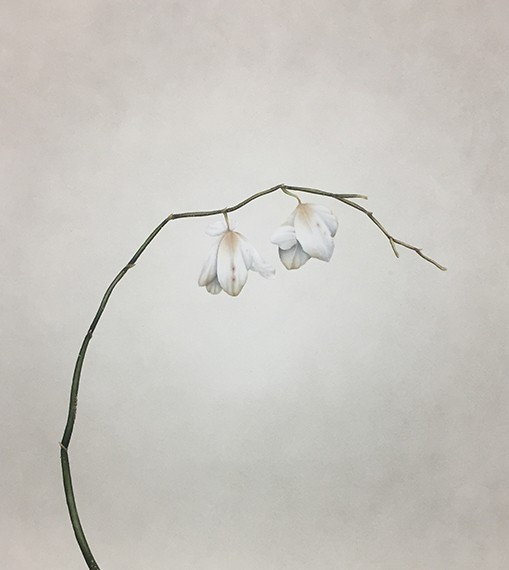 Orchidaceae (finis), 2017
