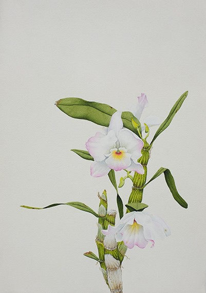 Orquídea (R), 2019